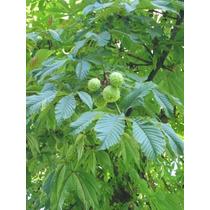 1 Arbol De Castaña (artocarpus Camansi) Arbol Frutal