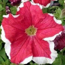 Petunias Frost Red 20 Semillas Flor Jardín Sdqro