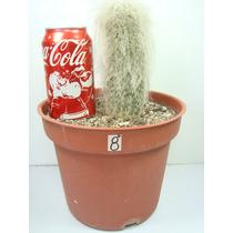 Cactus Cephalocereus Senilis Viejito De 7 Pulgadas Grande