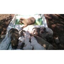 Cachorros Bull Terrier Americano