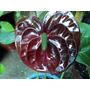 Anturios Paquete De 3 Plantas Color Rosa Rojo Y Chocolate