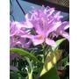 Orquidea Laeliocattleya Rosa Fluorescente