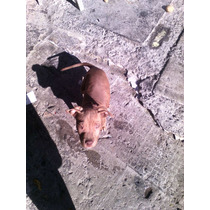 Cachorro Pit Bul Terrie Red Noce