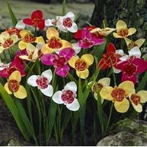 Bulbos De Tigridia 4 Colores Disponibles 8 Bulbos X $150