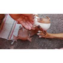 Camada De 5 Cachorros Pit Bull