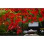 Semillas De Arce Japones Rojo