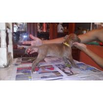 Apbt American Pitbull Terrier