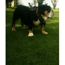 Hermoso Semental Bulldog Ingles Tri Color Exotico.