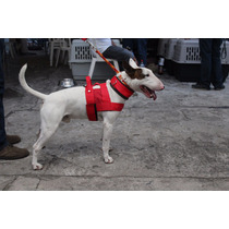 Pechera Para Bull Terrier Ingles