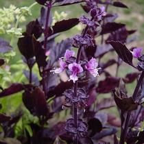1 Planta De Albahaca Morada (ocimum Basilicum)