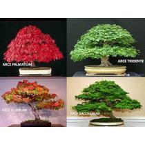 Arces Rojos (rubrum Saccharum Palmatum Tridente) 60 Semillas