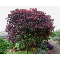 Arbol Sangre Libanesa, Rojo, Euphorbia Cotinifolia