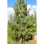 Ocote ( Arbol ) , Pinus Patula , Pino Lloron , 60cm
