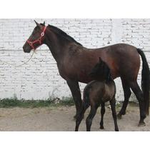 Yegua Española De Registro Con Cría