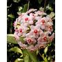 Planta Exótica Hoya Carnosa - Flor De Cera - Flor Porcelana