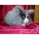 Hermosos Conejos Angora Ingles (ojo Azul) Adulto 100% Puros