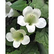 Planta jazmin confederado aromatica y trepadora for Jazmin planta precio