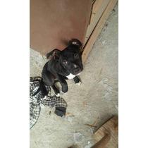Cachorro Pit Bull