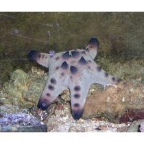 Estrella De Mar Choco Choco De Criadero