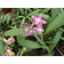 Orquideas Spathoglottis Plicata Rosa