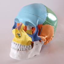 Modelo Anatómico De Craneo, Tamaño Real 3 Secciones Oferta!