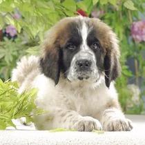 Ravensburger - 500 Piezas 15214-perro San Bernardo