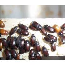 Gorgojos Chinos Ulomoides Dermestoides Coleoterapia