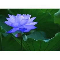 8 Semillas De Flor De Loto Envío Gratis