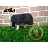Minipig Minipigs Mini Pig Cerditos
