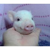 Mini Pigs Machos Rosas Minipigs Mini Pig