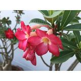 Rosa Del Desierto Rosa Sencilla 8 Semillas Adenium Sdqro2