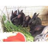 Conejos Nueva Zelanda, Chinchilla Y Negro Azteca.