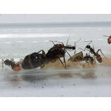 Hormiga Reina Camponotus +obreras Envio En La Descripción
