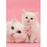 Gatitos Angora Gatos Oferta Sólo Está Semana