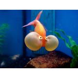 Pez Ojo De Burbuja Goldfish Importación Shangai