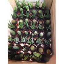 Cactus Y Suculentas Miniatura Por Caja 100 Pzas.