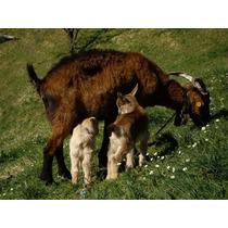 Corrida Financiera Para Proyecto De Cría De Cabritos