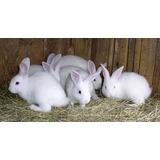 Conejos Sementales
