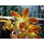 Venta De Orquídeas Chysis Laevis