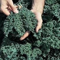 Kale Vates Azul Crespo Gran Heirloom Vegetal Granel 30.000 S