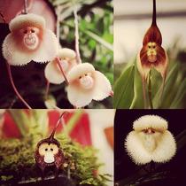 100 Semillas Orquidea Cara De Mono ( Drácula Simia ) 2 Tipos