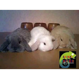 Conejos Belier(mini Lop).