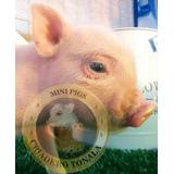 Mini Pig Minipig Minipigs Legítimos Los Más Chaparritos