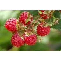 1 Planta De Frambuesa Frutos Del Bosque, Frutales Exoticos