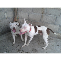 Proximamente Venta De Cachorros American Pitbull Terrier