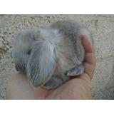 Hermosos Conejos Belier Mini Lop