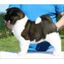 Akita Americano Cachorros A Meses Sin Intereses¡¡