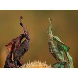 Alimento Vivo (phyllocrania Paradoxa) Mantis Fantasma