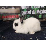 Conejo Cabeza De León Hermosos