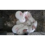 Conejos Nueva Zelanda Y California